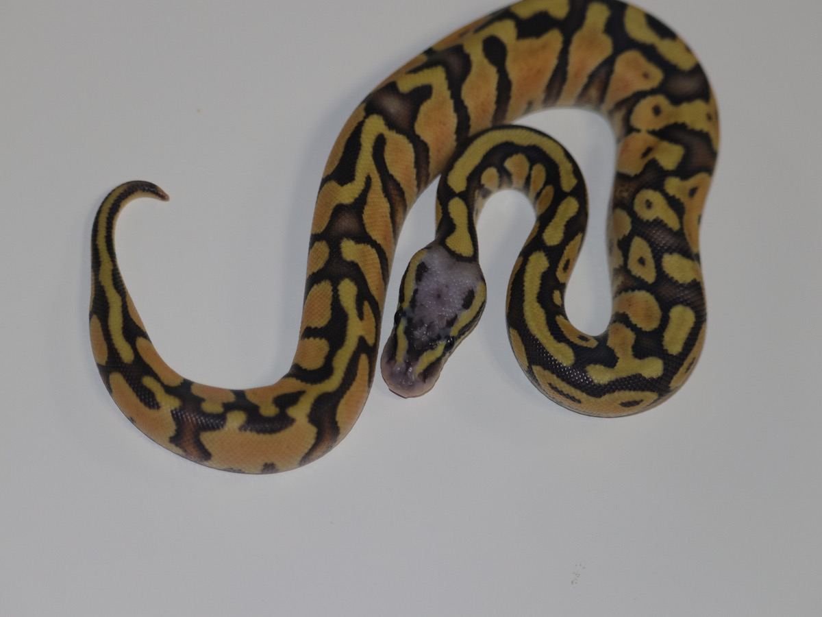 Enchi Orange Ghost Pastel Vanilla