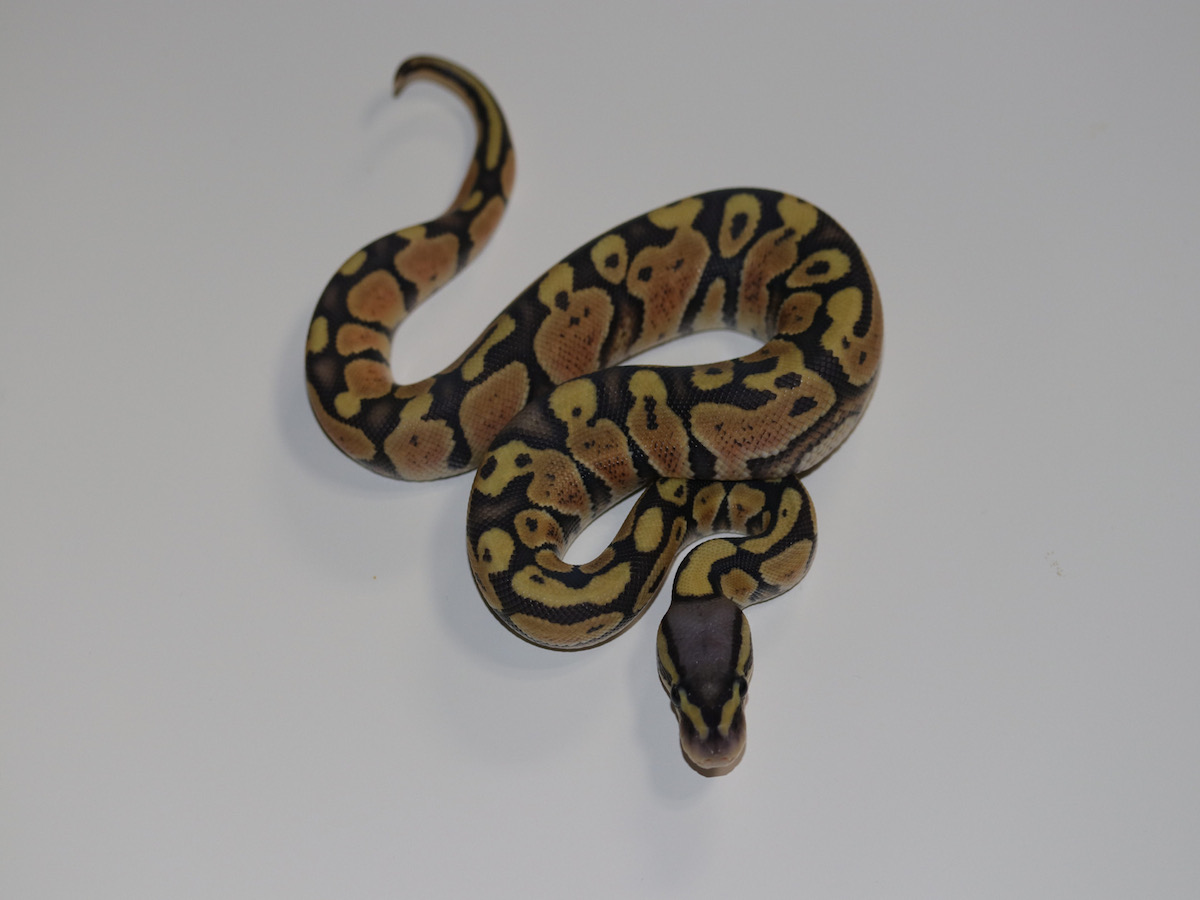 Enchi Orange Ghost Vanilla