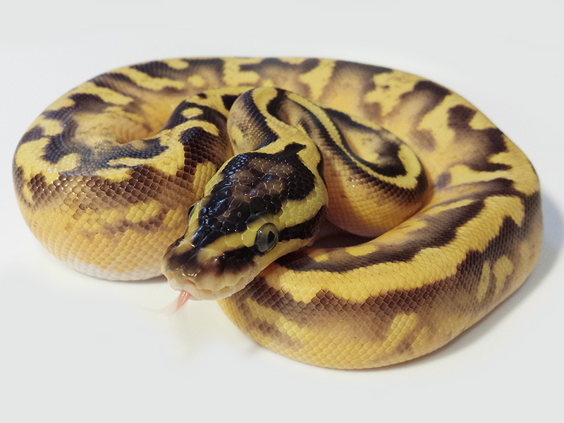 Enchi Pastel Pied Yellow Belly