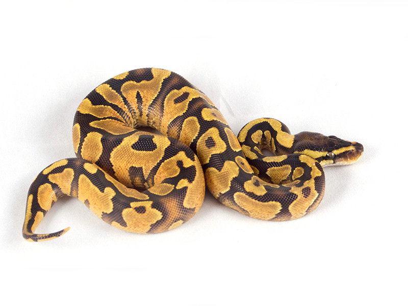 Enchi Yellow Belly