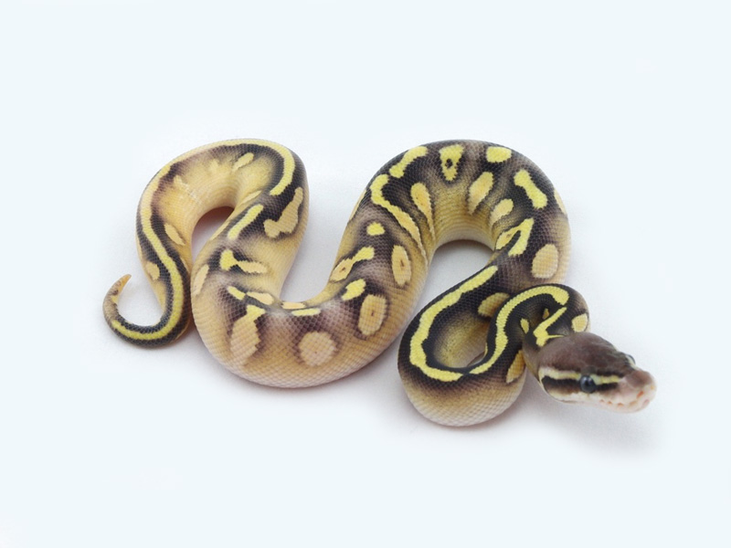 Epic Calico Mojave Pastel Yellow Belly