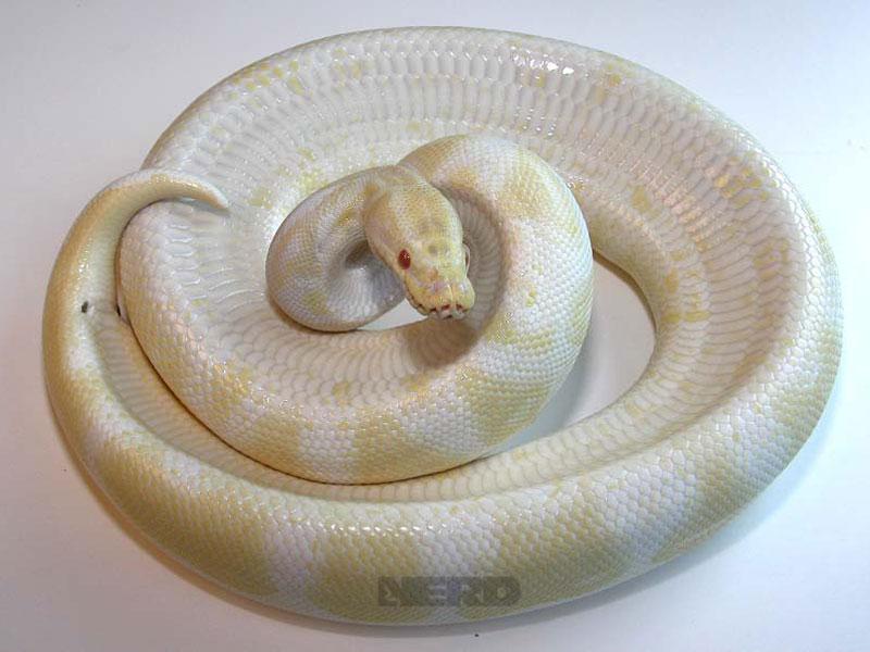 Albino - Faded