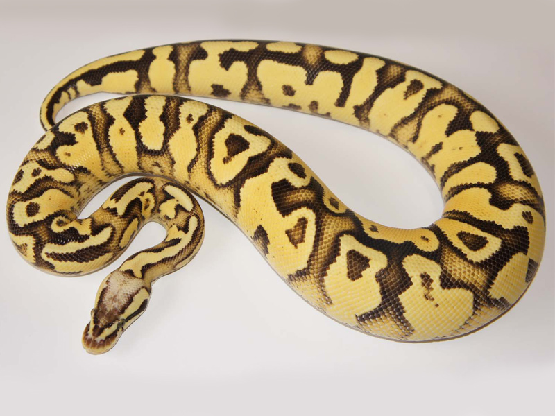 fader fire lemon pastel yellow belly morph list world