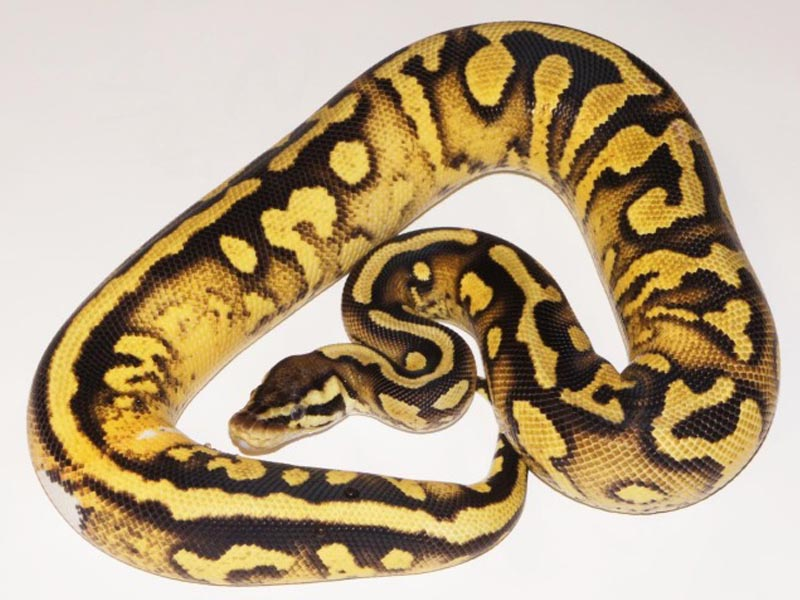 Lemon Pastel Yellow Belly