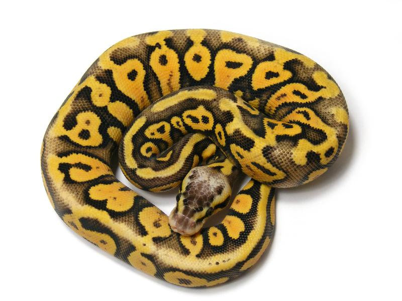 Super black pastel ball python