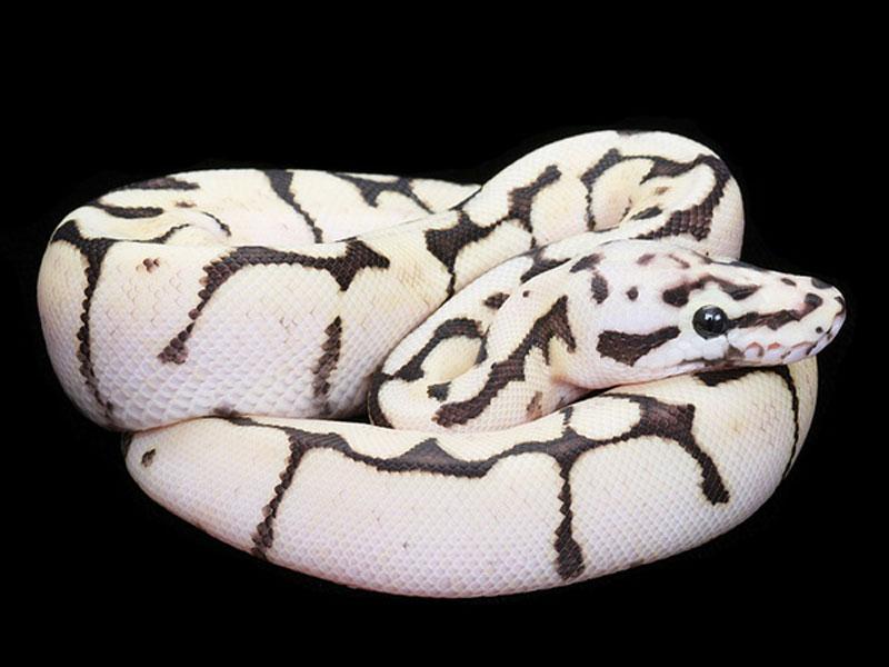 Fire Bee - Morph List - World of Ball Pythons