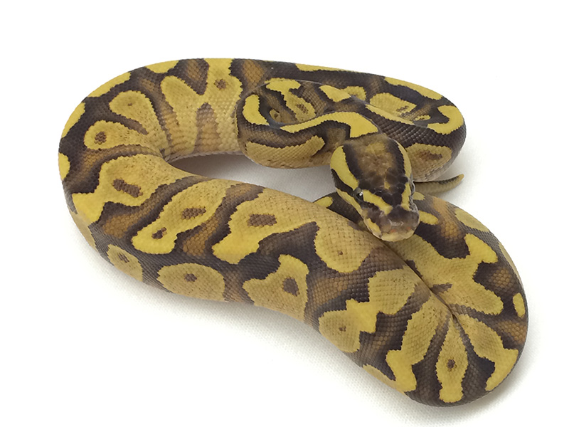 Fire Enchi Yellow Belly