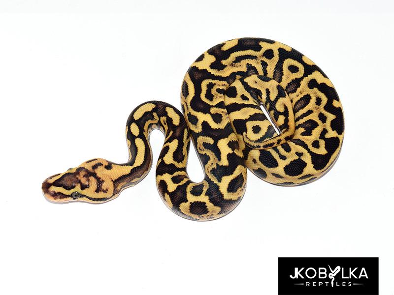 Fire Ghi Leopard Spotnose