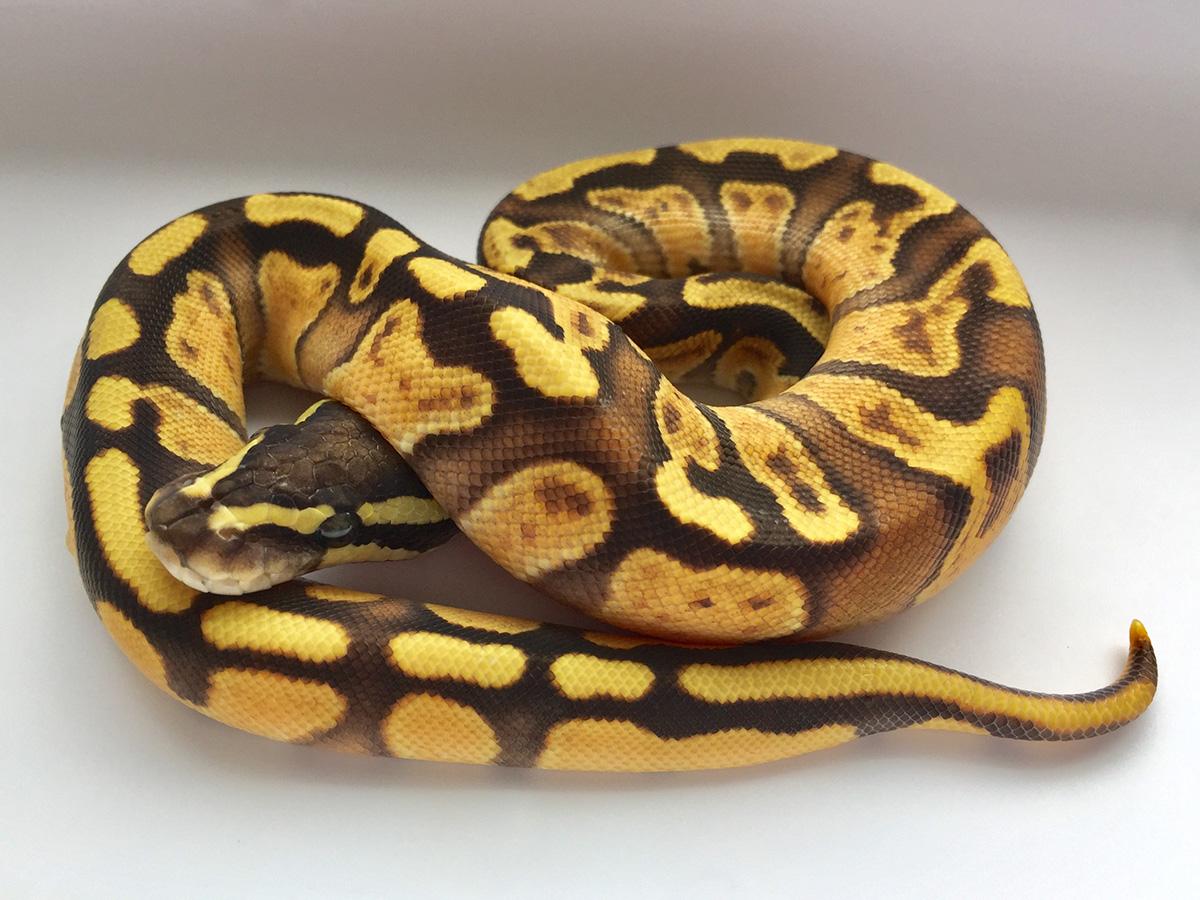 Fire Ghi Orange Dream Morph List World Of Ball Pythons