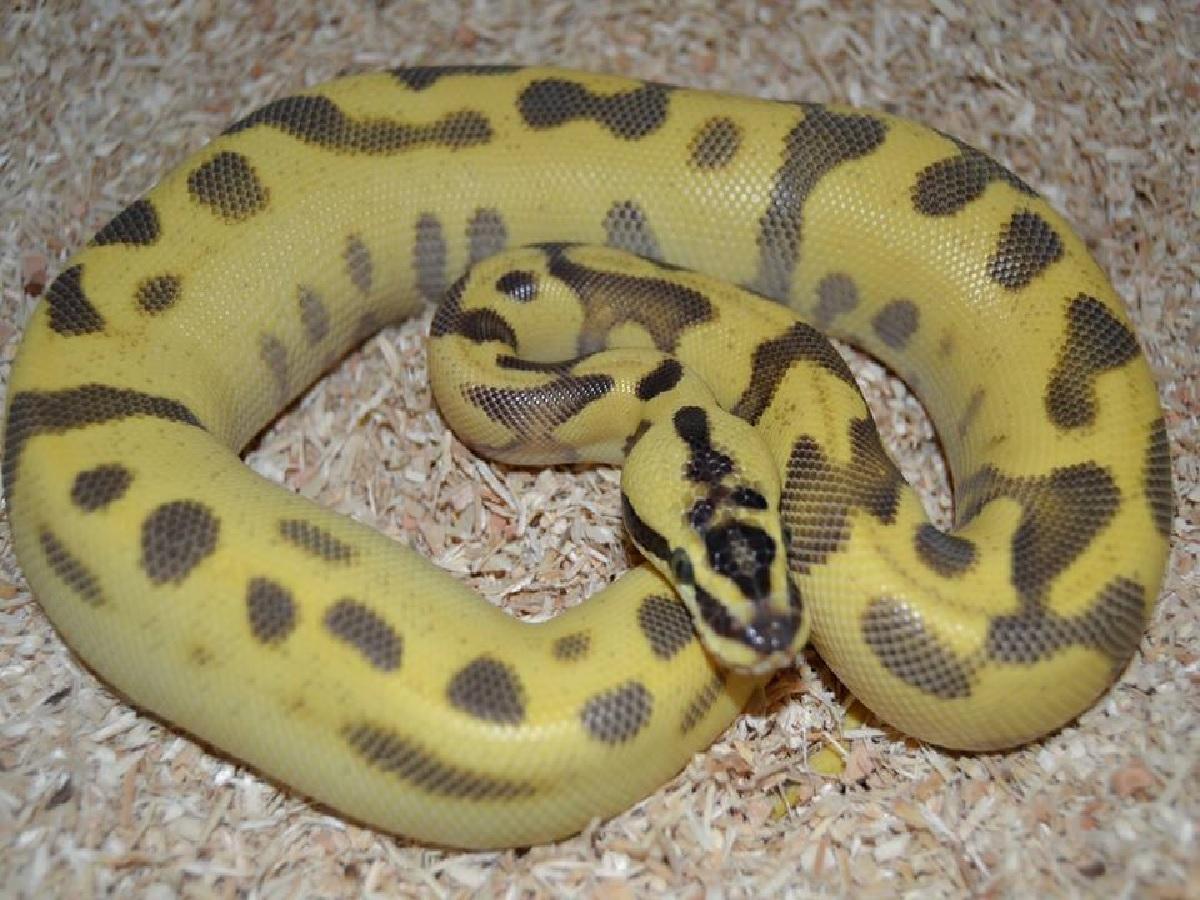 fire leopard pastel super enchi morph list world of