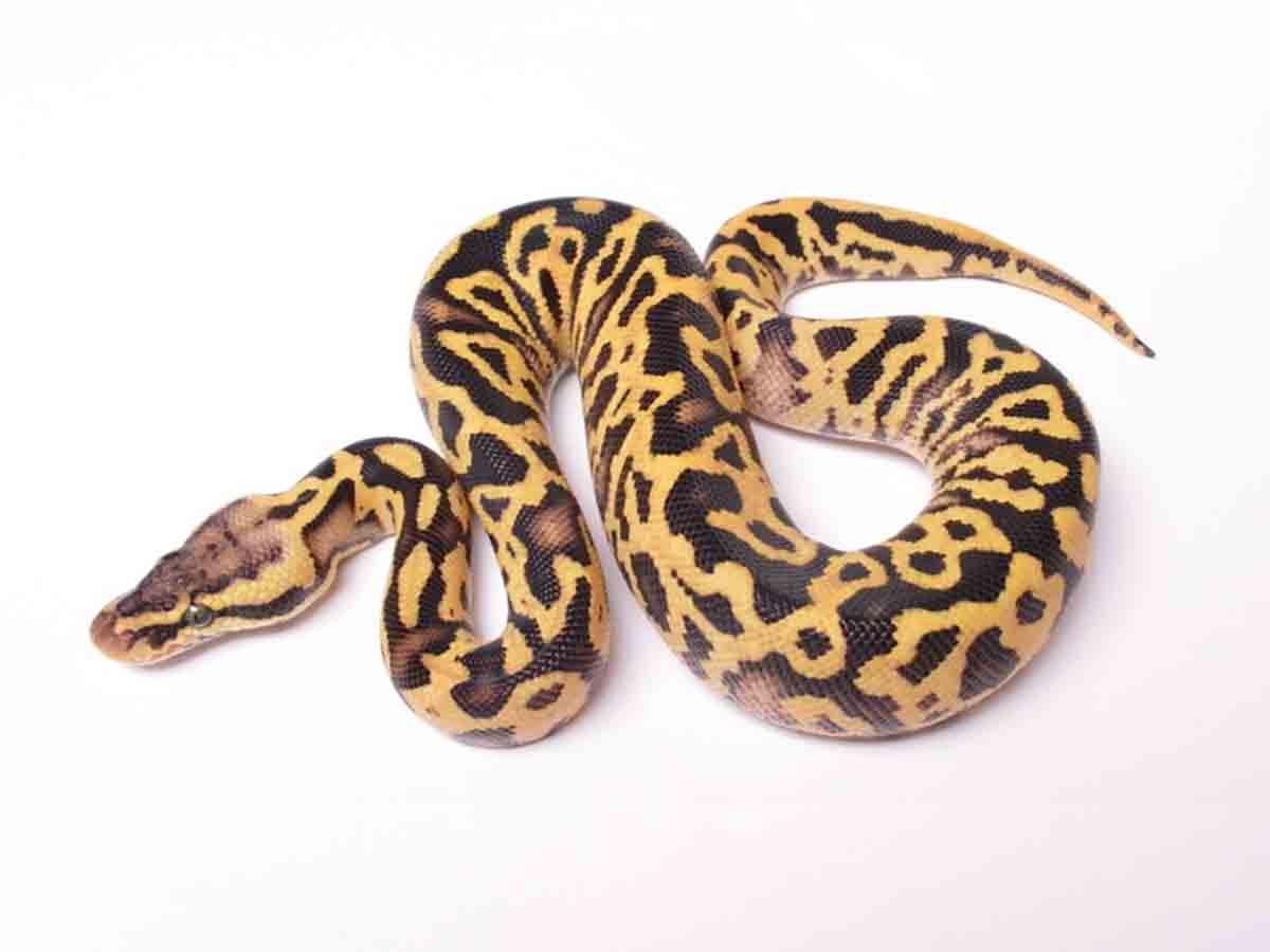 Fire Leopard Pastel Yellow Belly