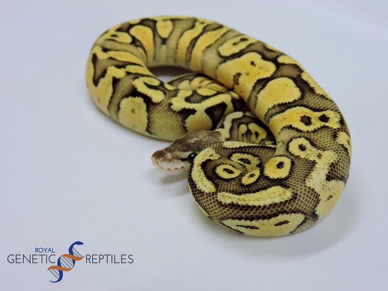 fire mocha pastel morph list world of ball pythons