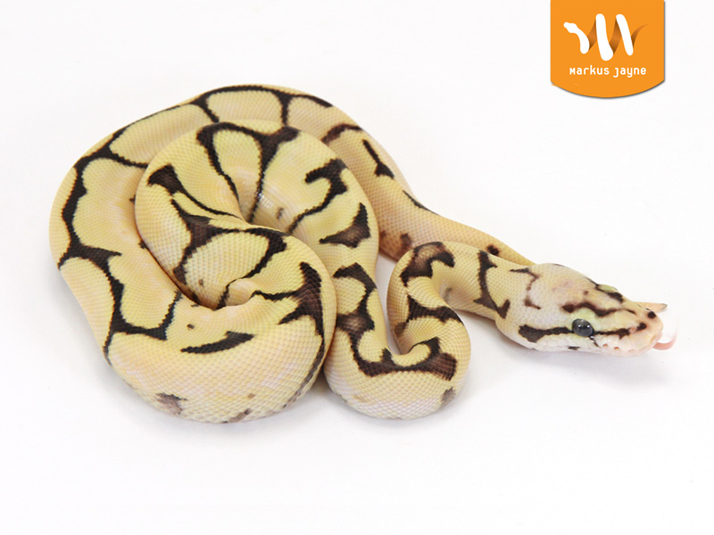 Fire Orange Dream Pastel Spider Morph List World Of Ball Pythons