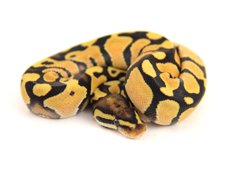 Fire Orange Dream Morph List World Of Ball Pythons