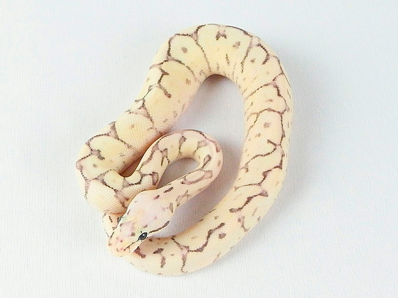 Fire Spider Super Pastel Yellow Belly
