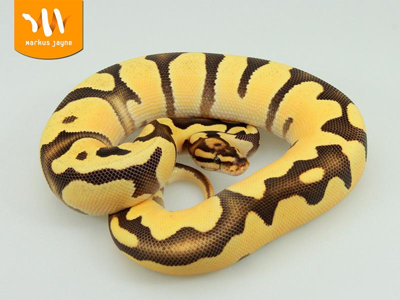 Fire Super Orange Dream Morph List World Of Ball Pythons