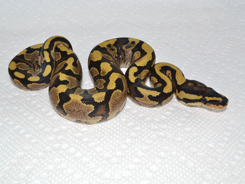 Fire Yellow Belly Jungle Woma