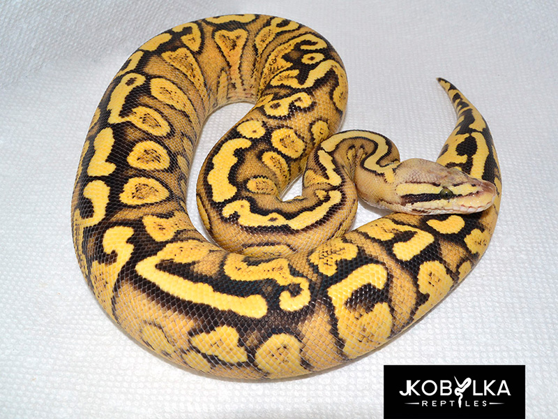 Firefly Yellow Belly Ghi