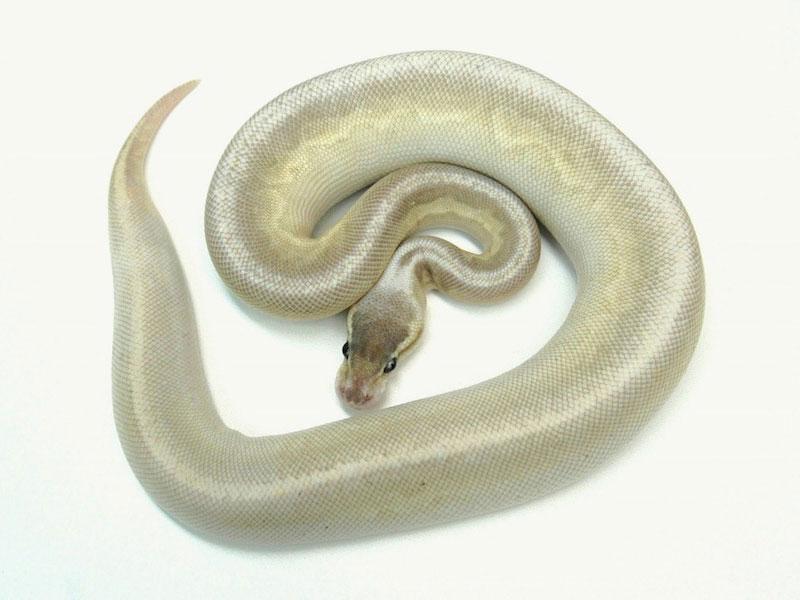 Gargoyle Lesser Pastel