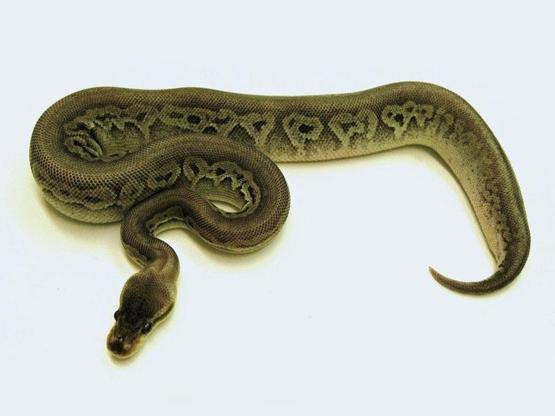 Gargoyle Lesser