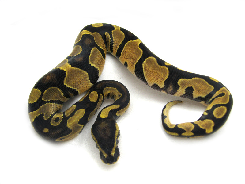 Genetic Banded - Pacific Coast Reptiles Line