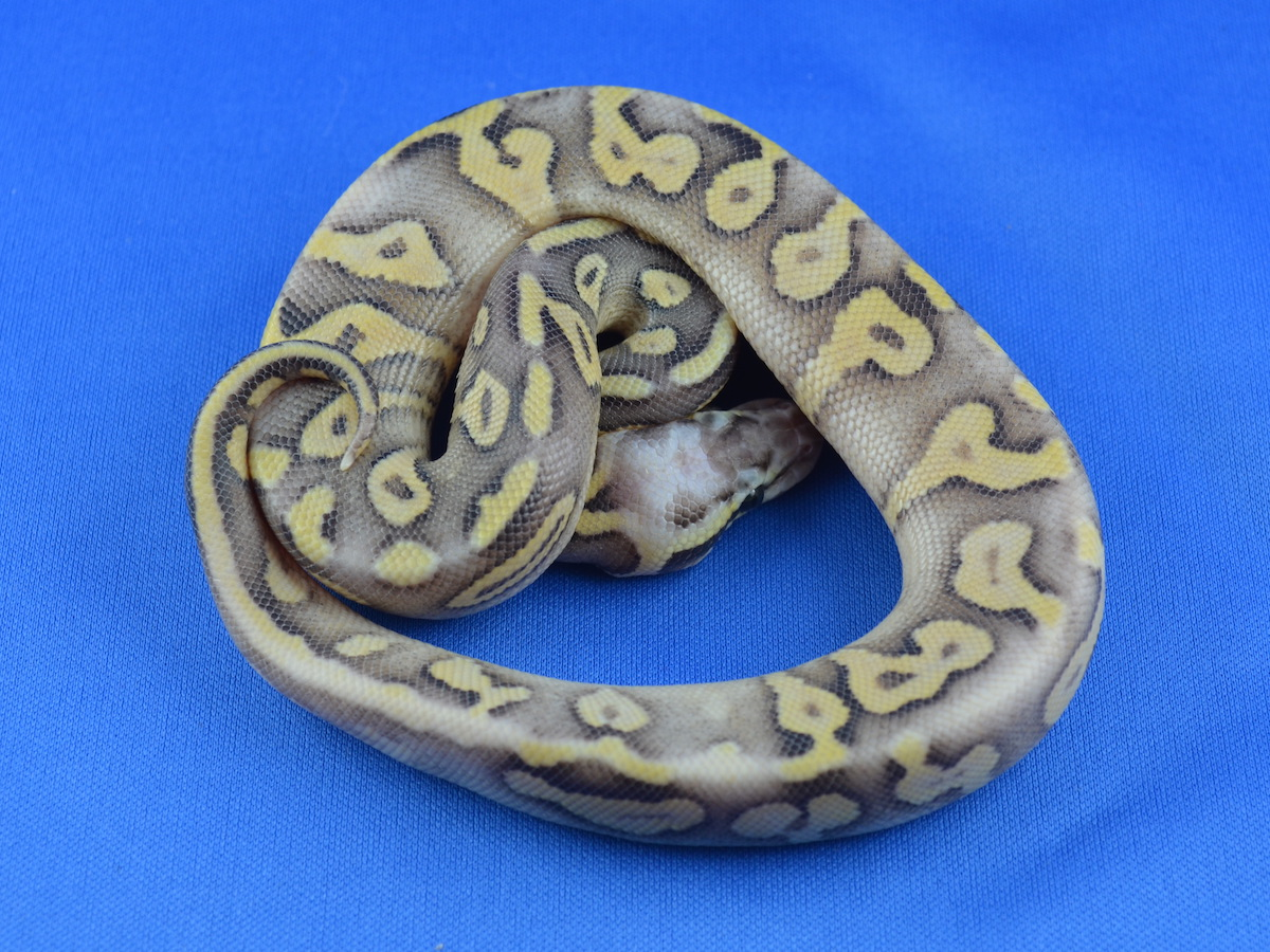 Genetic Banded Phantom Super Pastel Yellow Belly