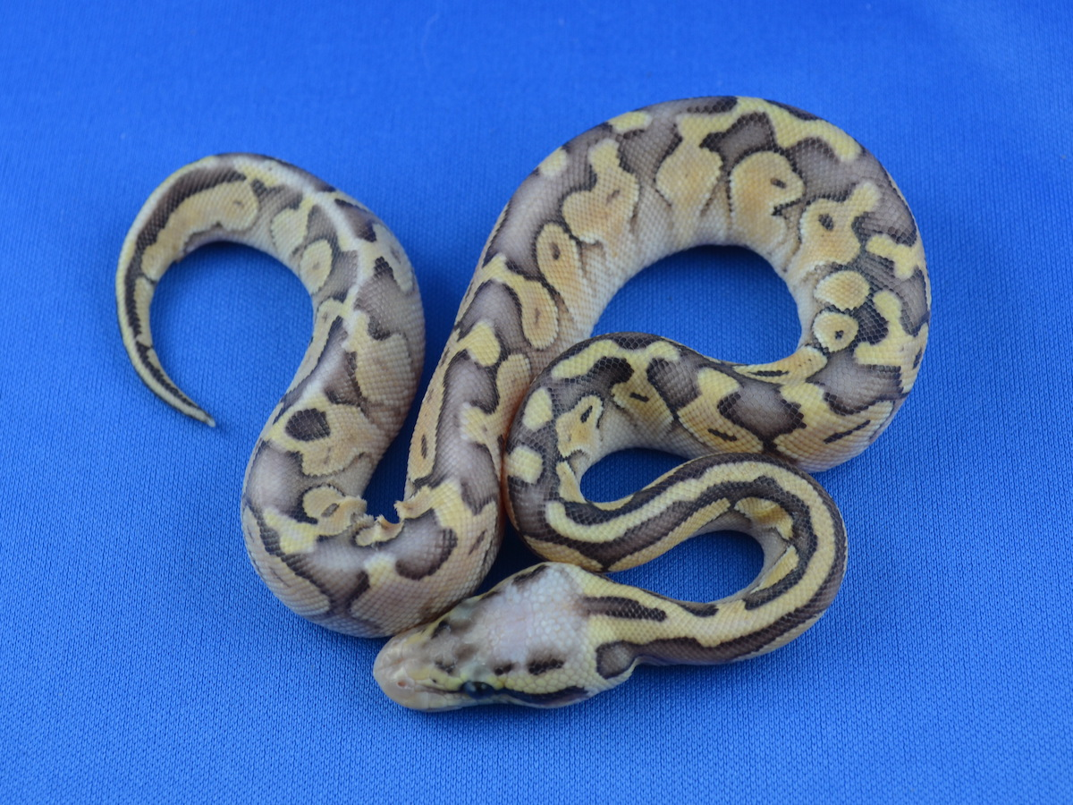 Genetic Banded Russo Het Leucistic Super Pastel Yellow Belly