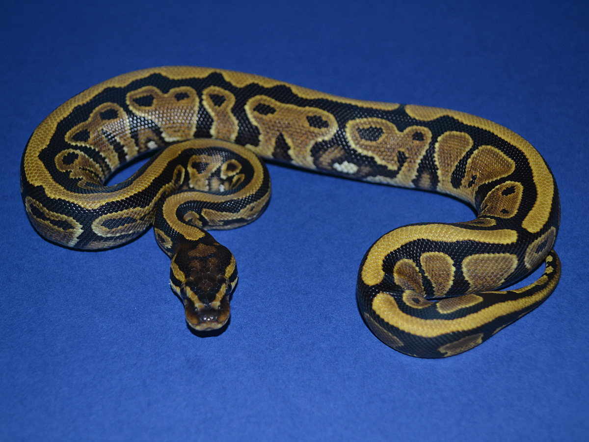 Genetic Black Back Vanilla Yellow Belly