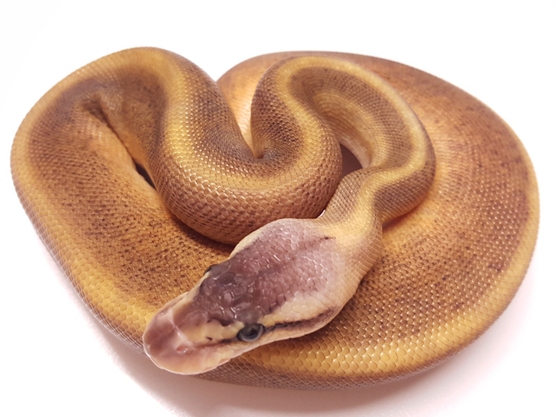 Genetic Stripe Ghi Pastel