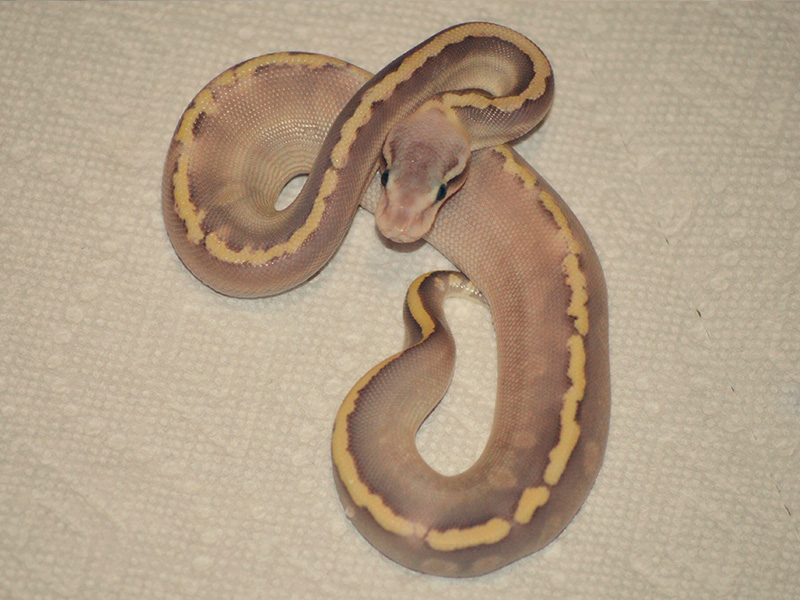 Ghi Ghost Mojave Super Pastel