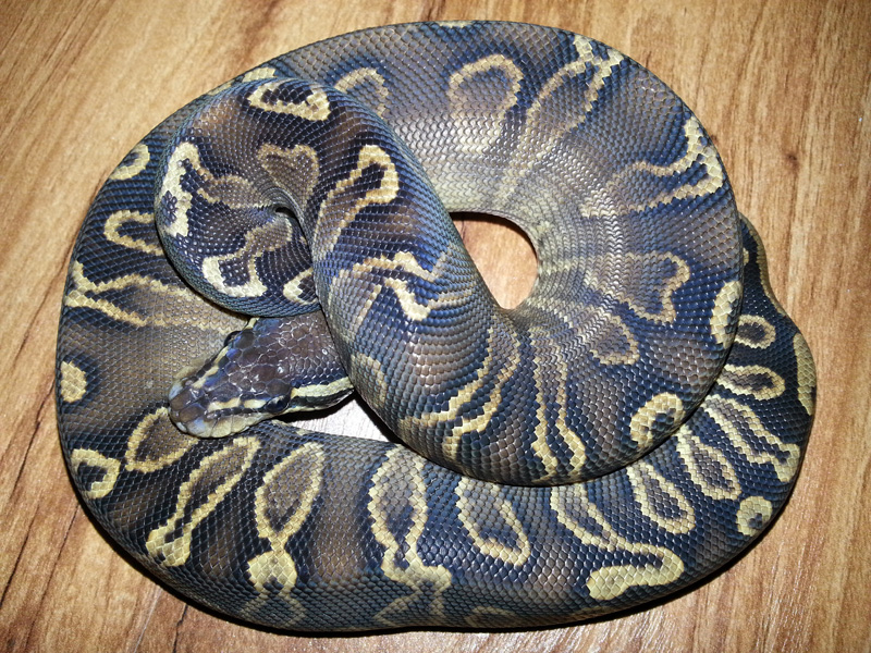 Ghi Het Red Axanthic Yellow Belly