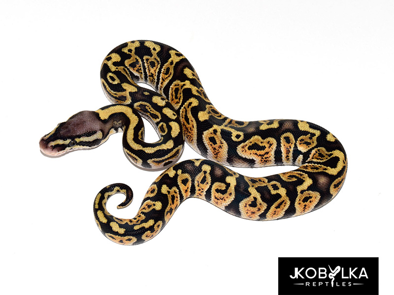 Ghi Jungle Woma Pastel