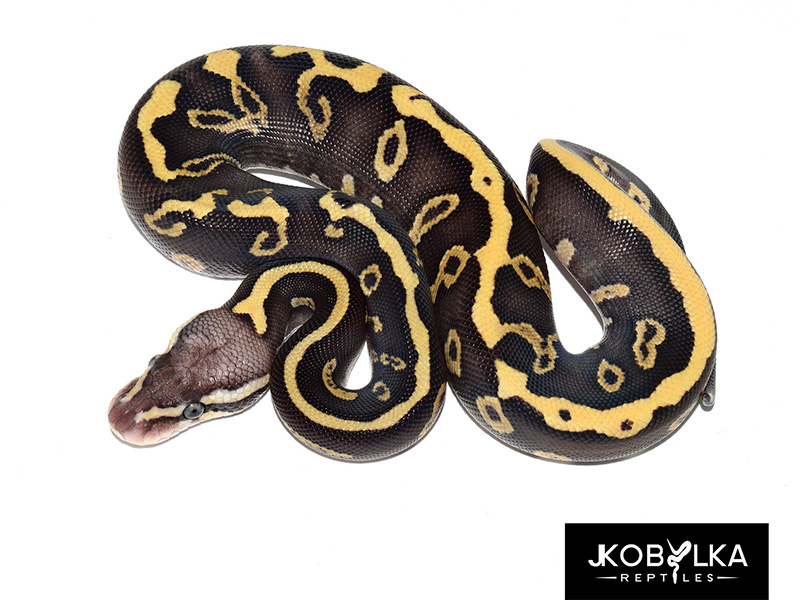 Ghi Leopard Mojave Pastel