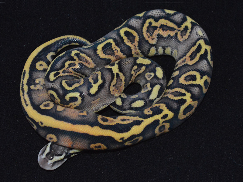 Ghi Leopard Pastel Yellow Belly