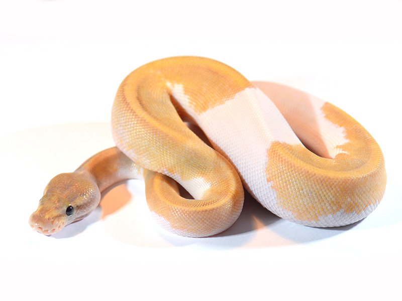 Ghost Mojave Pied