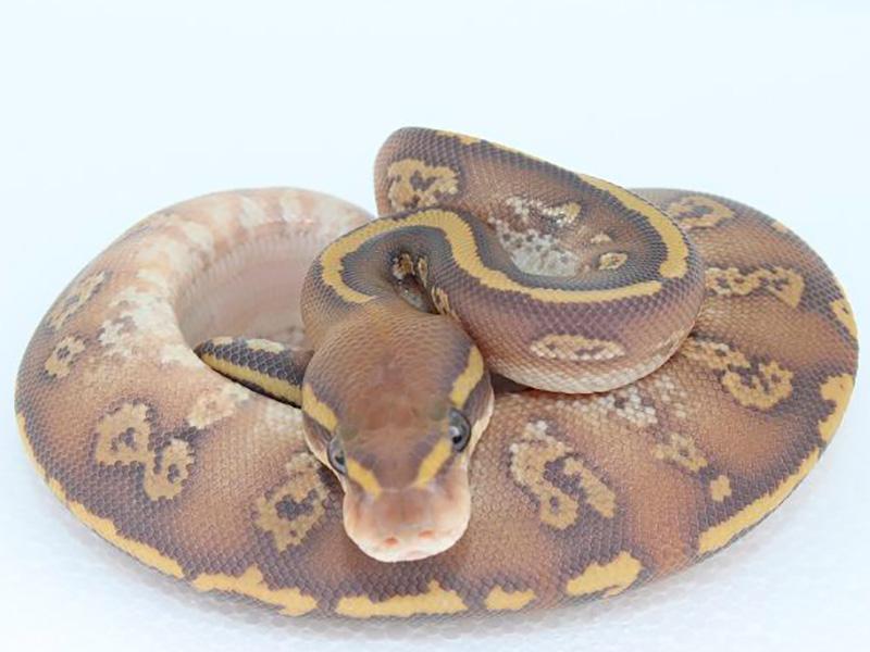 Ghost Mojave Super Orbit - Morph List - World of Ball Pythons