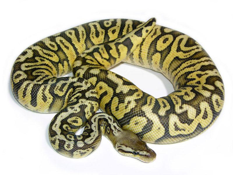 Hidden gene woma ball python