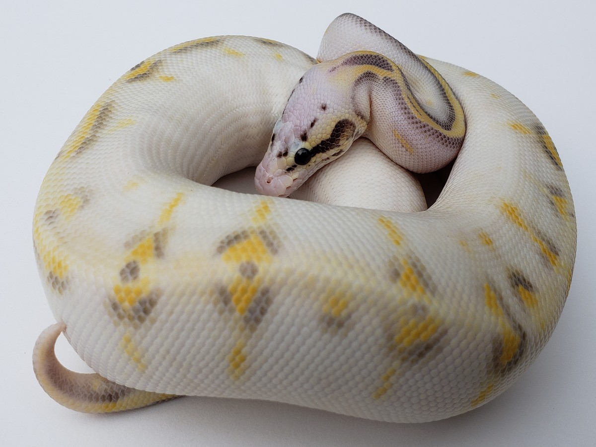 Gravel Super Pastel Yellow Belly