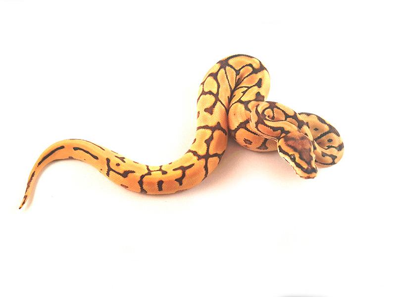 Harlequin Leopard Mojave Spider