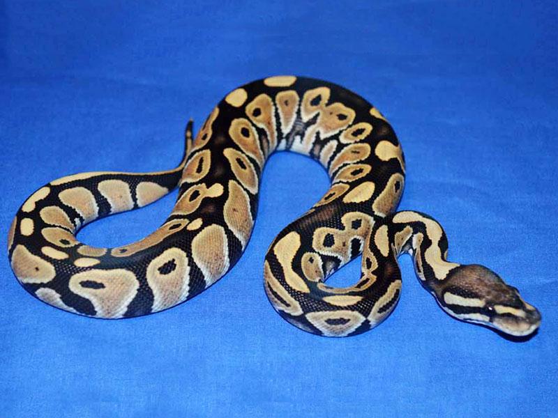 Het Red Axanthic Desert Ghost Morph List World Of Ball Pythons