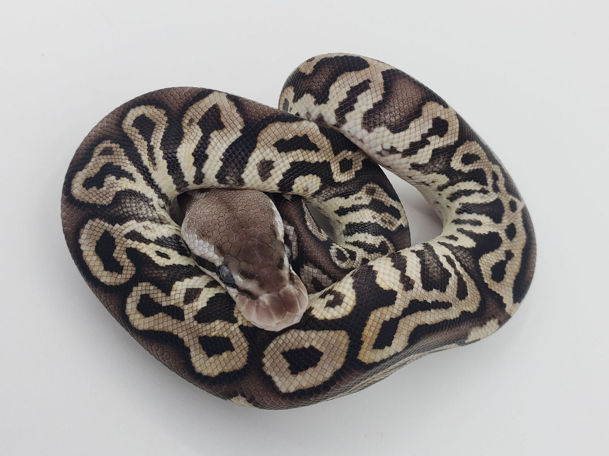Het Red Axanthic Leopard Pastel Yellow Belly
