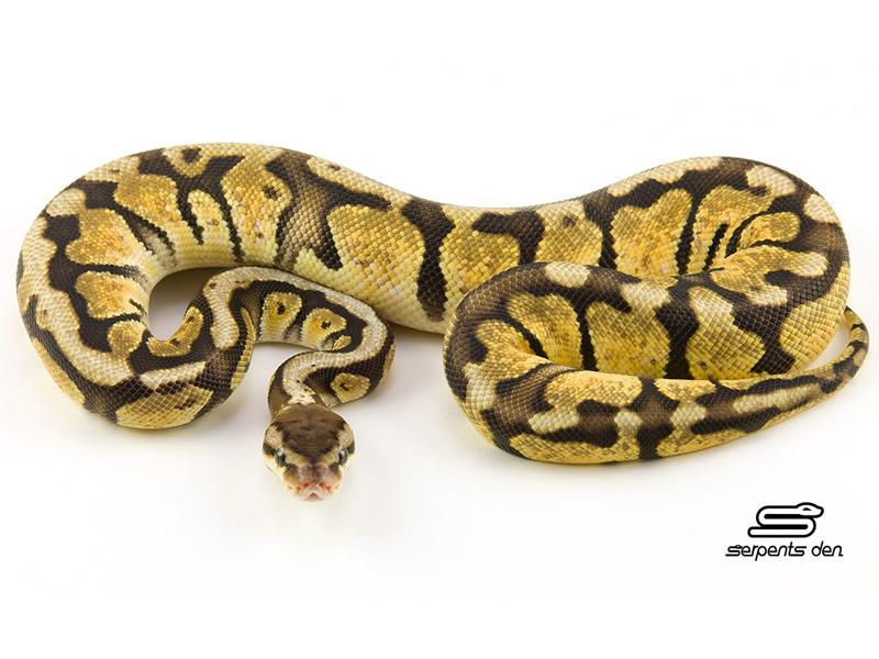 Hidden Gene Woma Pastel