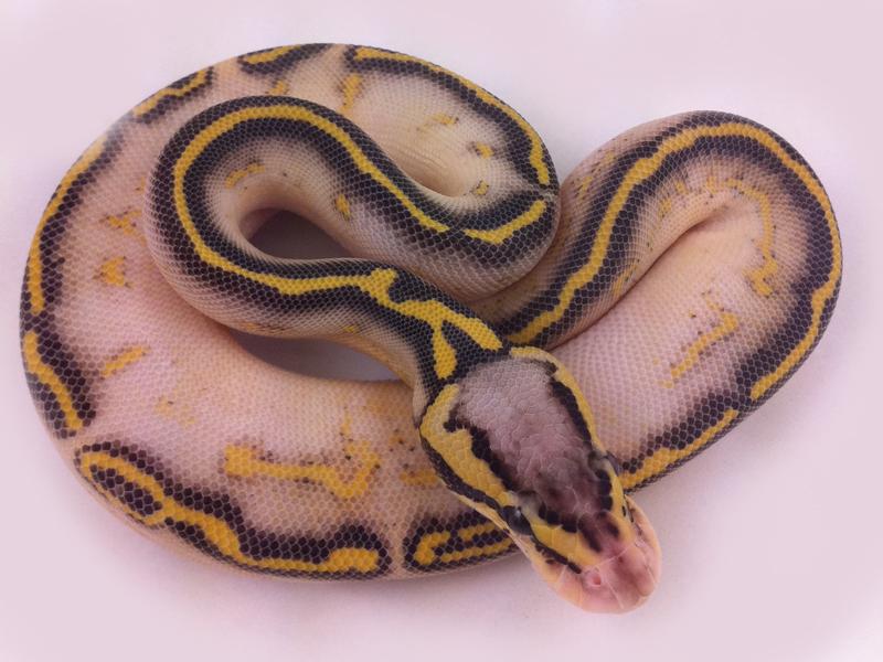 how to make a freeway ball python