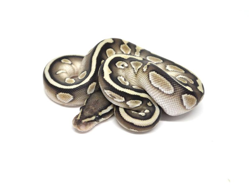 Hydra Lesser