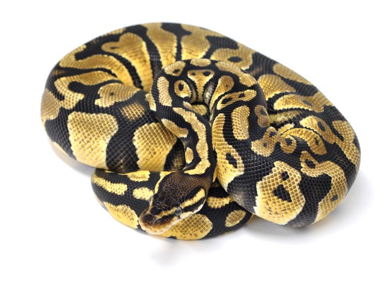 Hydra Pastel