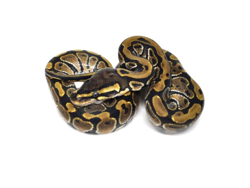 Hydra morph list world of ball pythons sciox Gallery