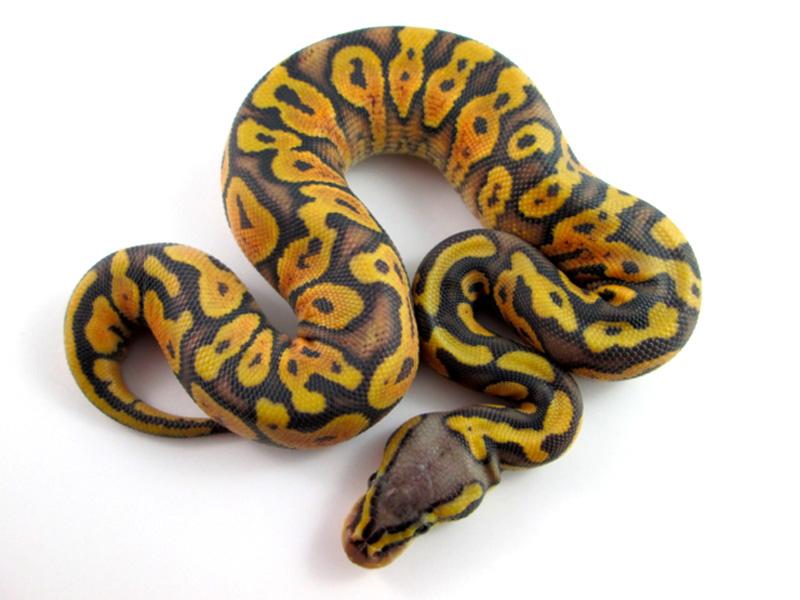 Hypo Citrus Pastel Yellow Belly