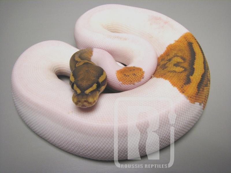 Hypo Pied