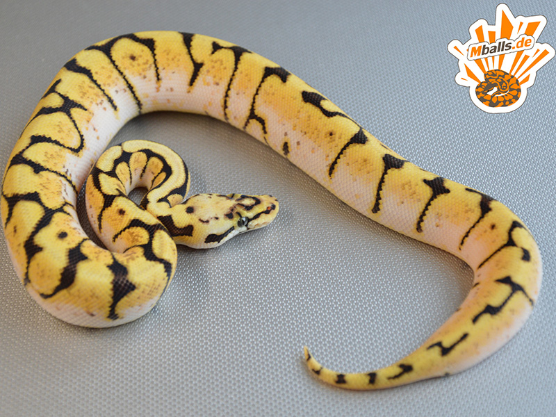 Jungle Woma Pastel Spider