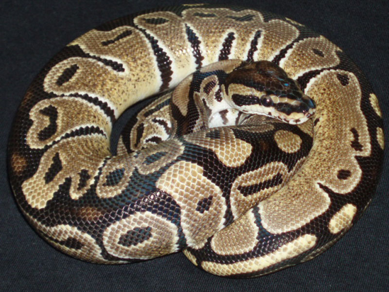 Jungle Woma Vanilla
